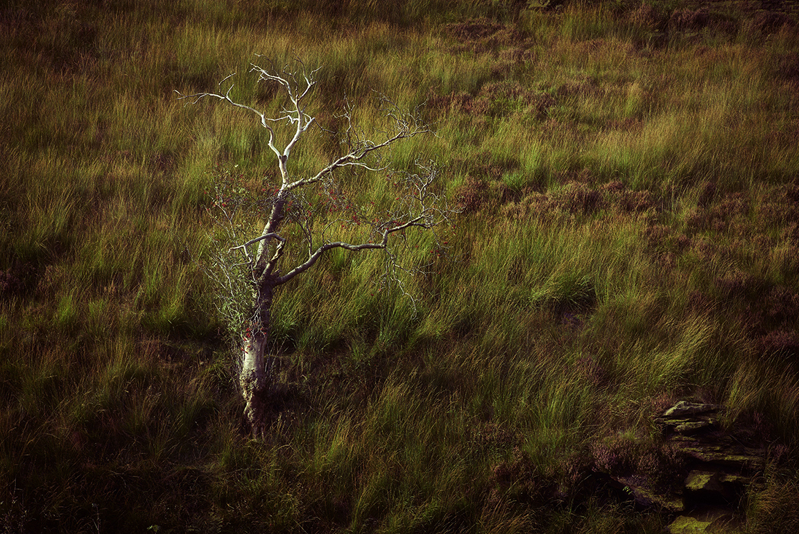 Saddleworth Moorland Tree