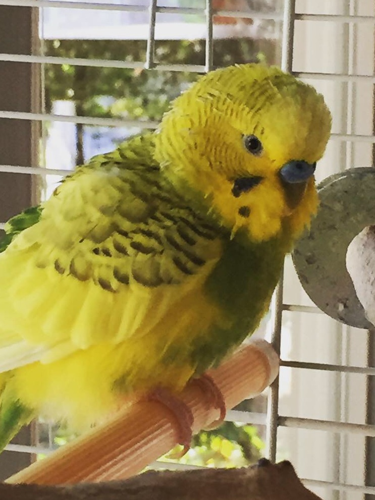 Clarence, the budgie that started it all.