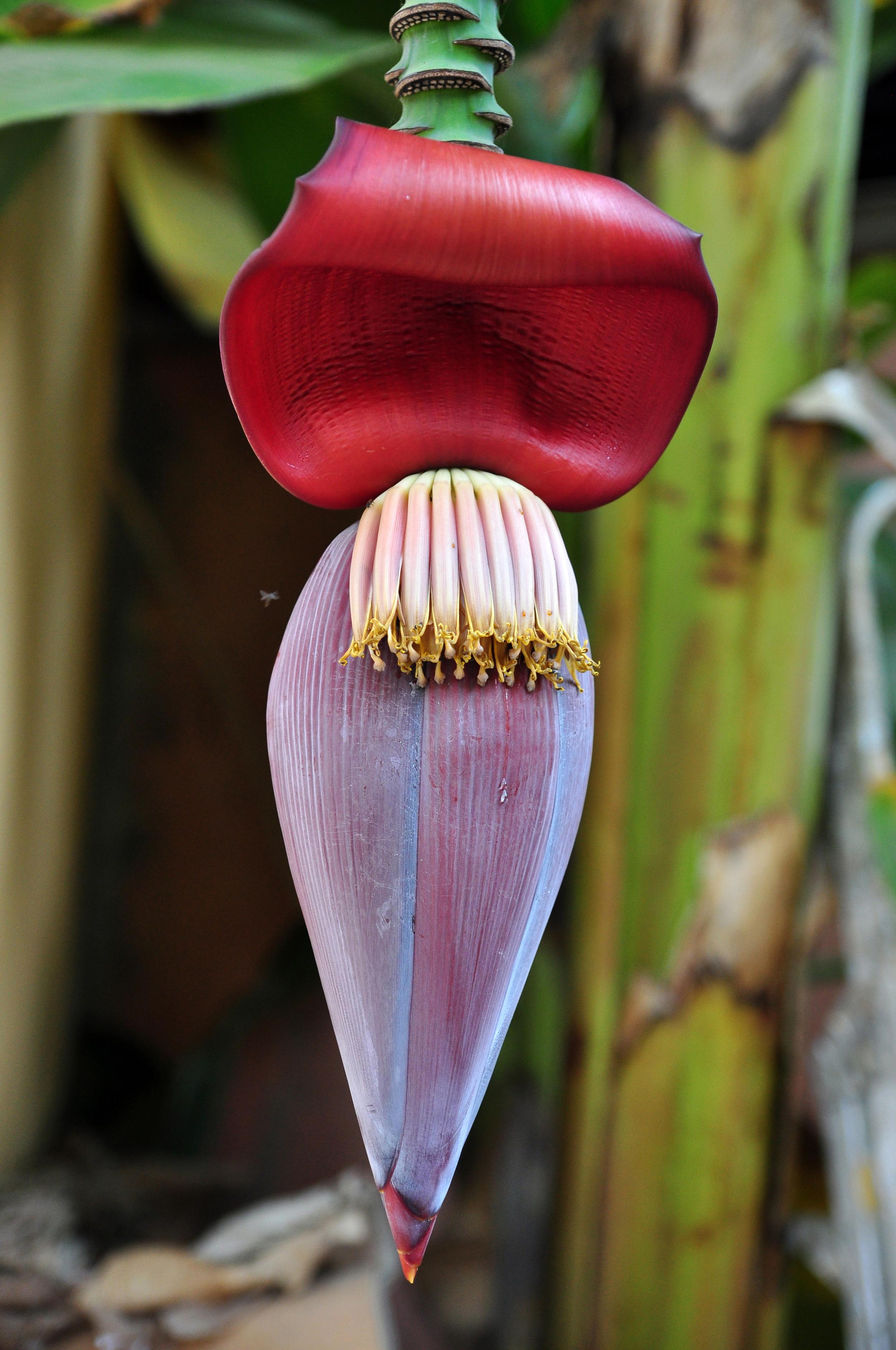 BANANA FLOWER.jpg