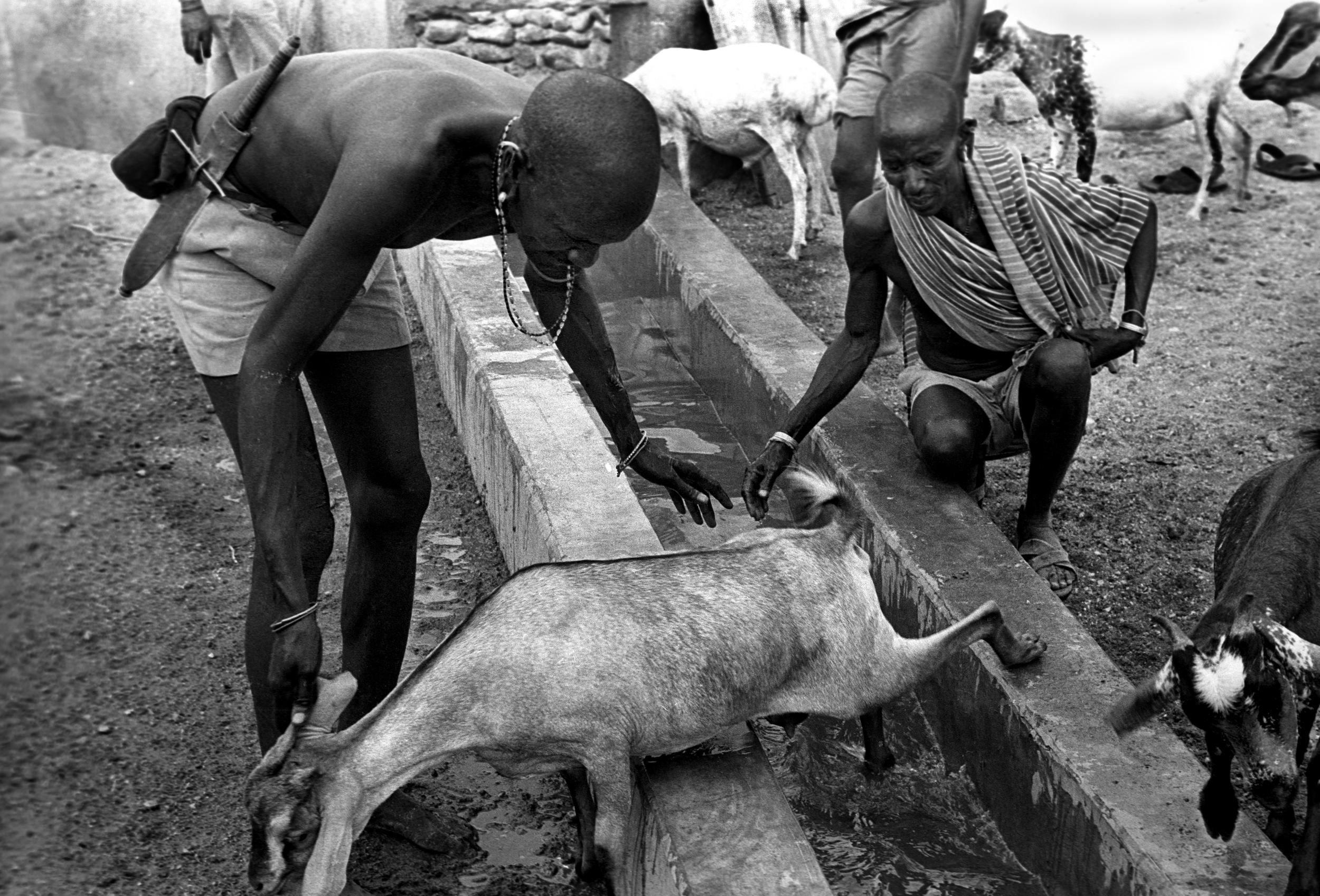 Rendille goats