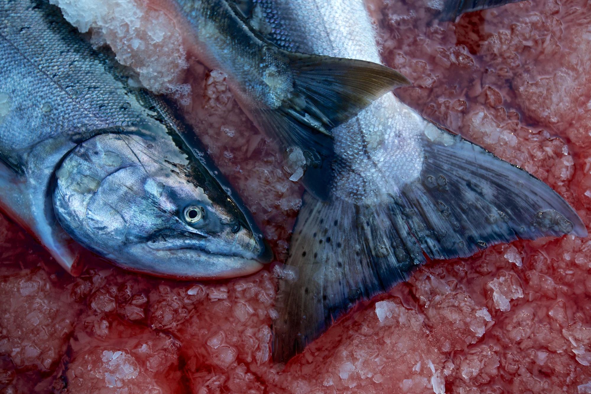 Iced chinook salmon.  Thomas Boyd/The Oregonian