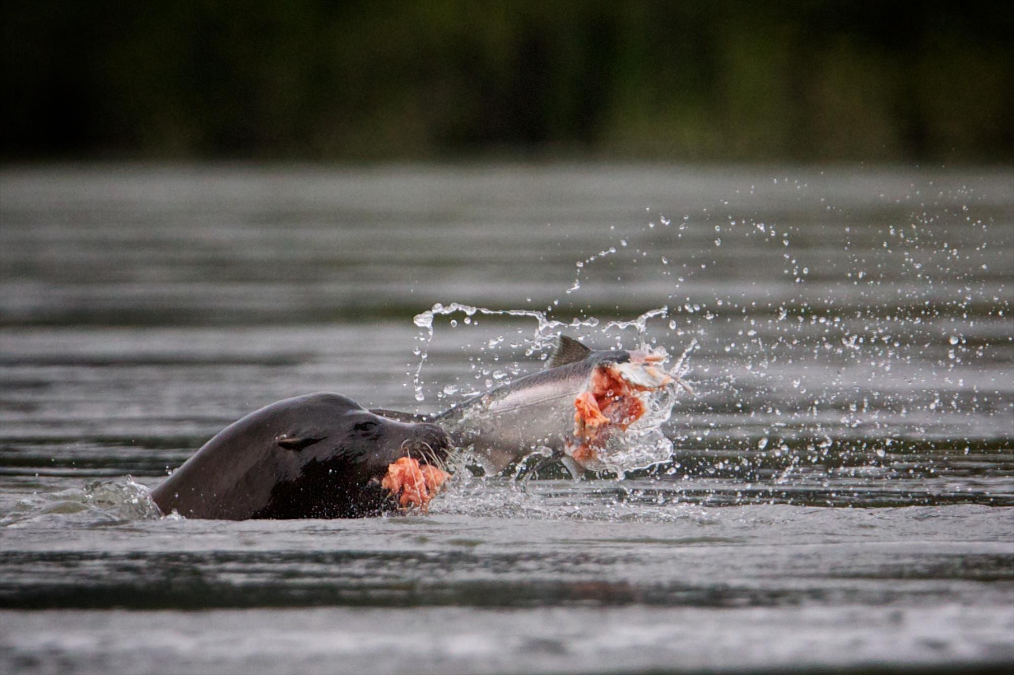 A sea-lion feasts on a salmon.  Thomas Boyd/The Oregonian