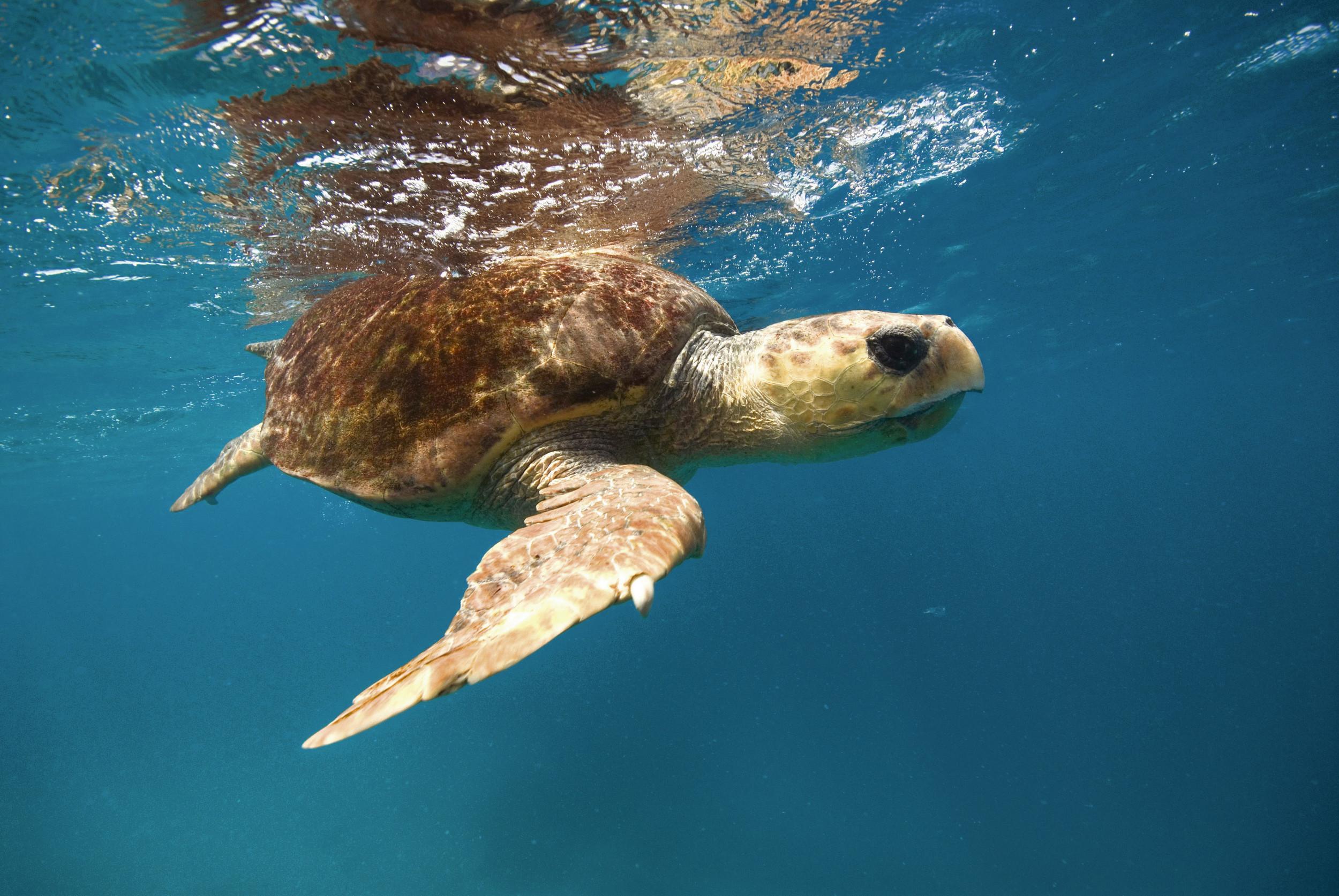Turtle, Heron Island, Delaware North