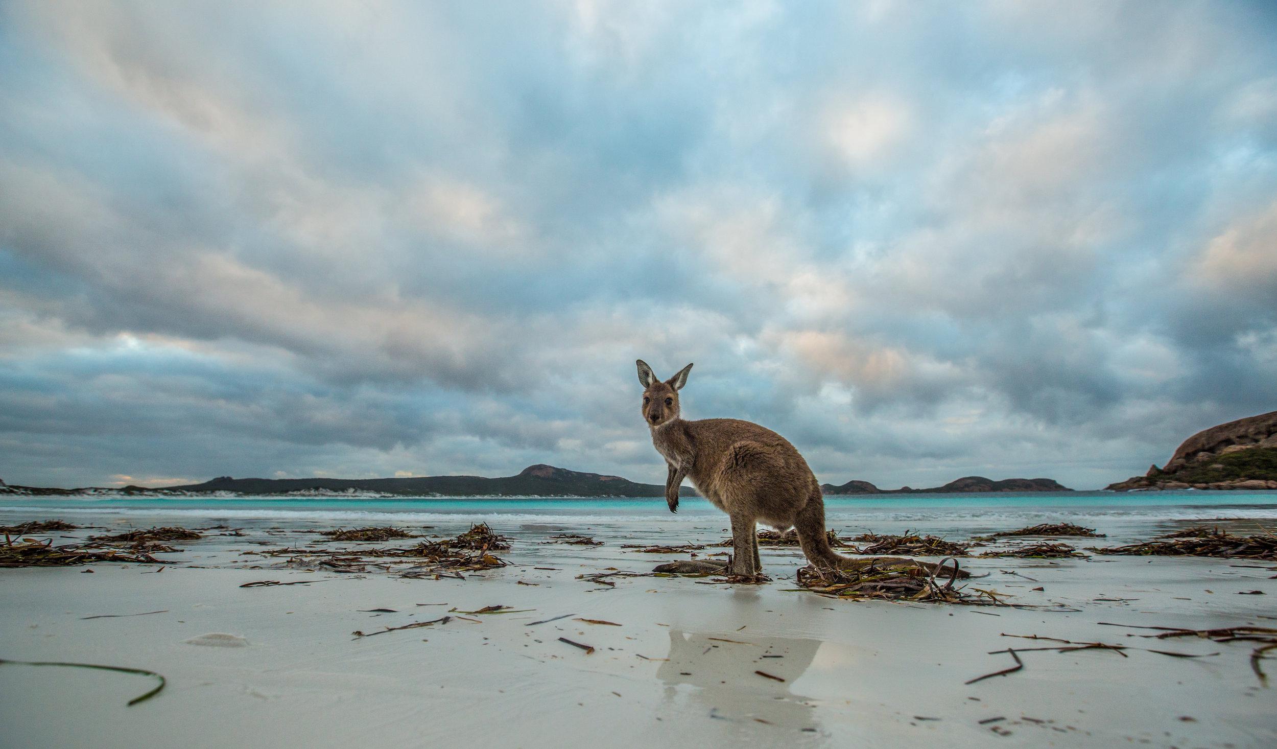 Kangaroo on Lucky Bay, background Recherche Archipelago ©Greg Snell.jpg