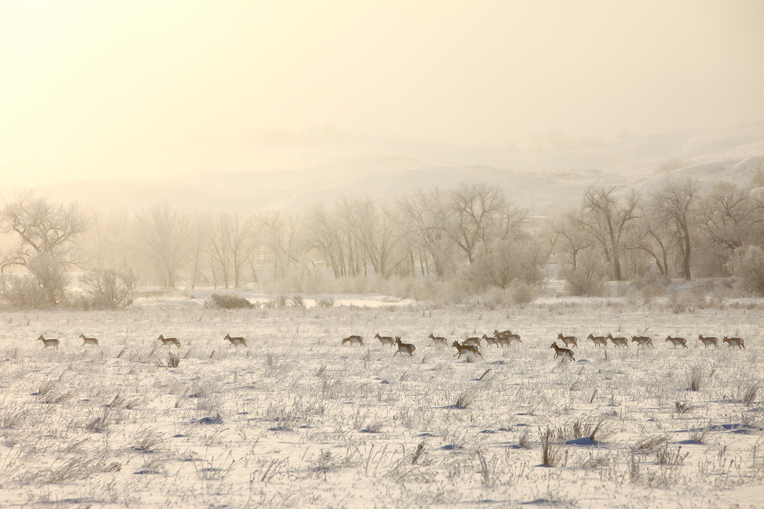A large herd of pronghorn antelope run across a snowy field near just within the city limits of Havre, Montana.   → Buy This Print
