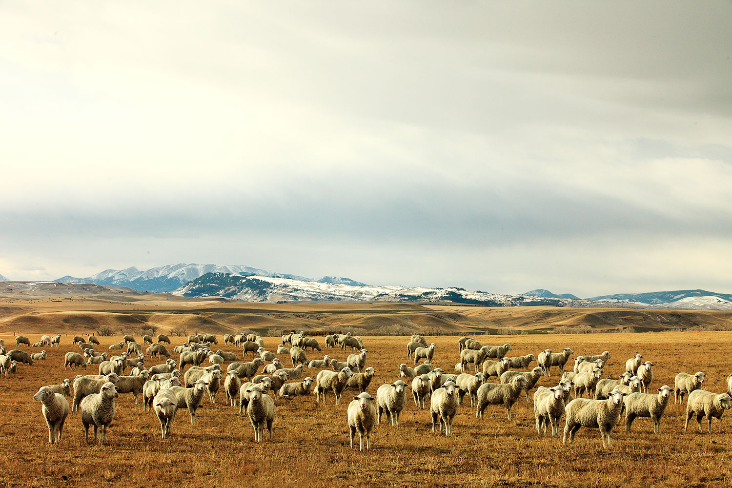 """A Montana photo of a large herd of sheep grazing near Harlowton, Montana and the Crazy Mountains...otherwise known as """"meadow maggots,"""" which is just one of the terms in my  Montana Slang Dictionary .   → Buy This Print"""
