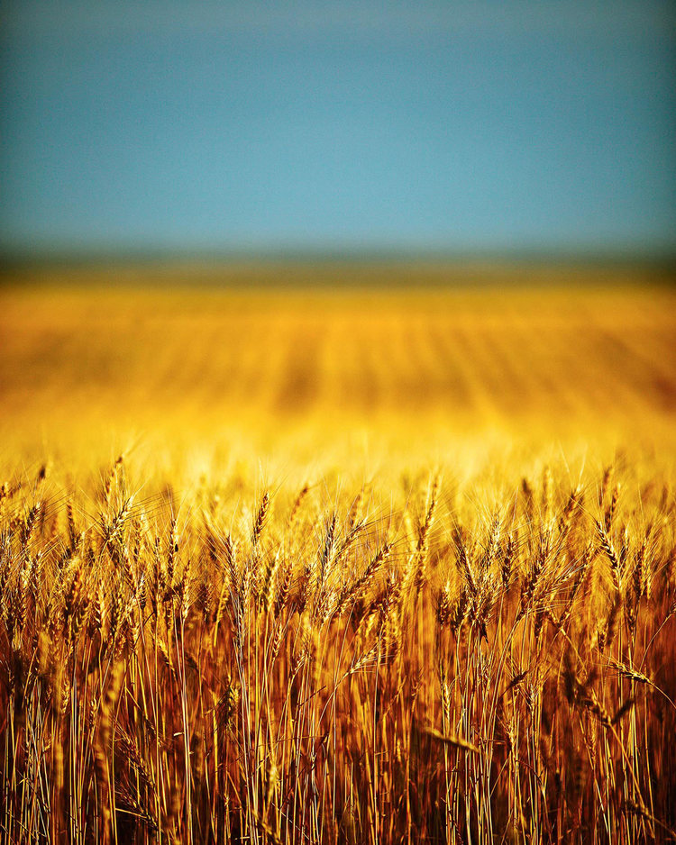 Things I like about Montana: The beautiful diffused glow the sun makes when it sets during wheat harvest.   → Buy a Print