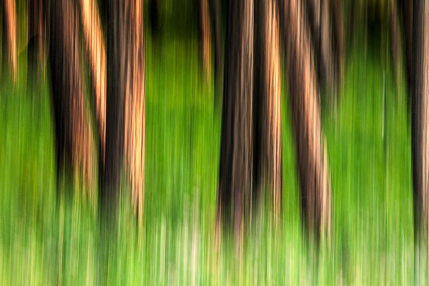 An abstract image of Ponderosa pines on Mount Centennial south of Havre, Montana.  → Buy a Print