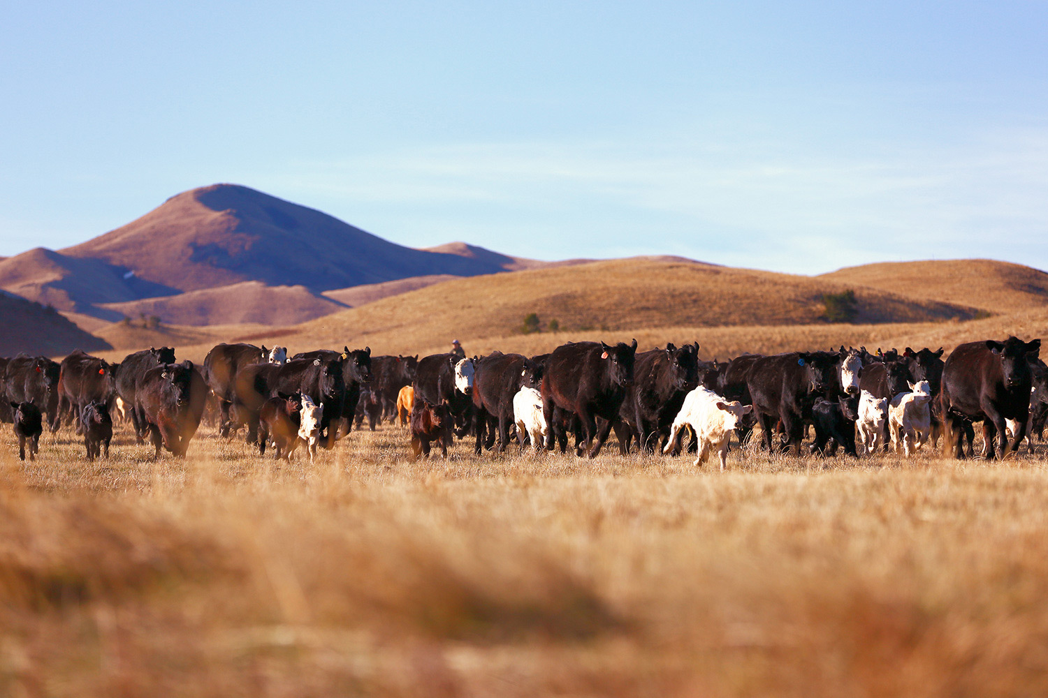 The leading edge of the herd heads toward the corral on a ranch near Cleveland, Montana.  → Buy a Print