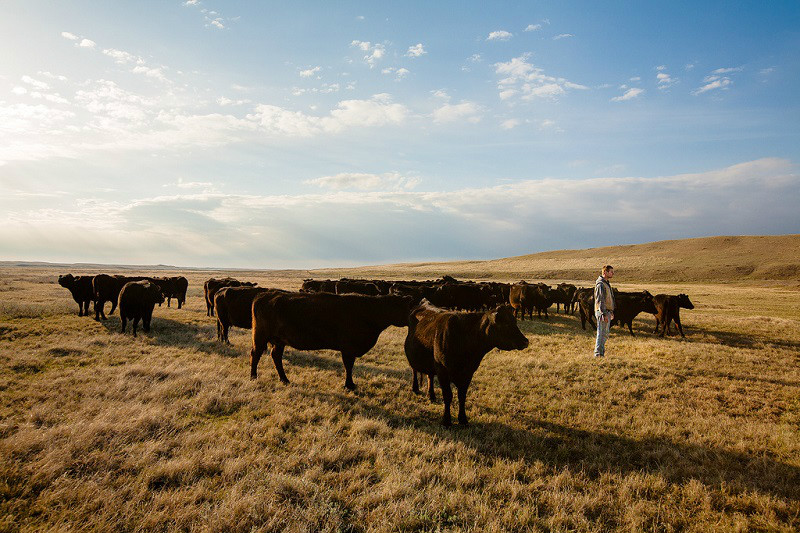 A young man stands at the head of a herd on a ranch north of Havre, Montana.  → License Photo