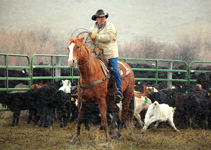 A cowboy roping calves while it begins to snow near Cleveland, Montana.  → License Photo