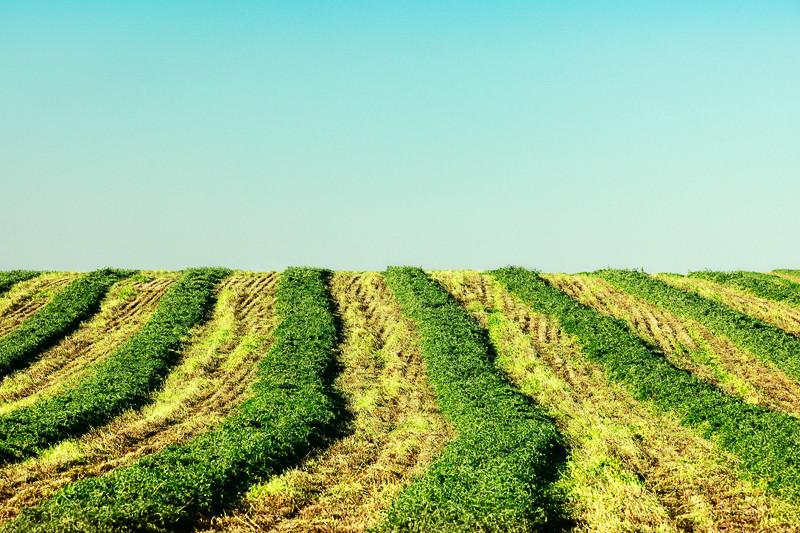 Rows of freshly cut hay in a field north of Joplin, Montana.  → License Photo