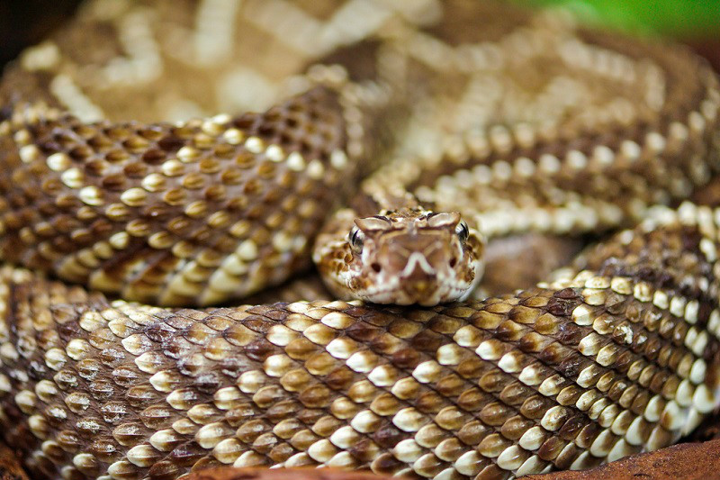 Montana has more rattlesnakes per square foot than any other place on Earth. How do we know this? We don't. But hopefully those words are enough to get you to move to Rhode Island instead.