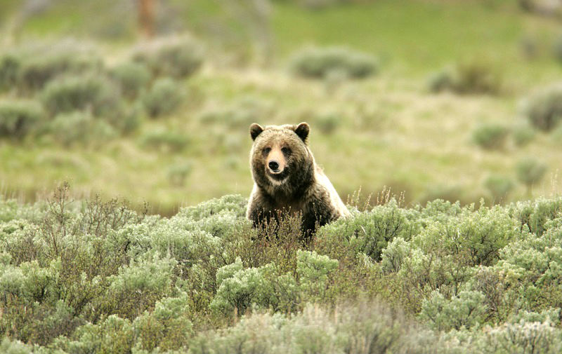 If you aren't careful, this grizzly bear might eat you. Probably better to stay where you are.