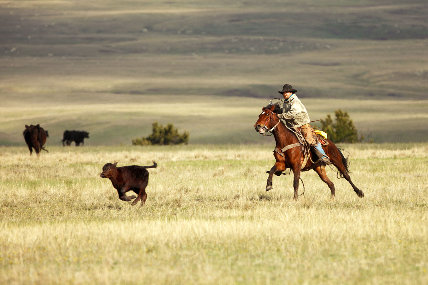 This is the photograph of a cowboy chasing a calf I made on a ranch that served as the inspiration for a painting by Bill Butler.    → Buy a Print