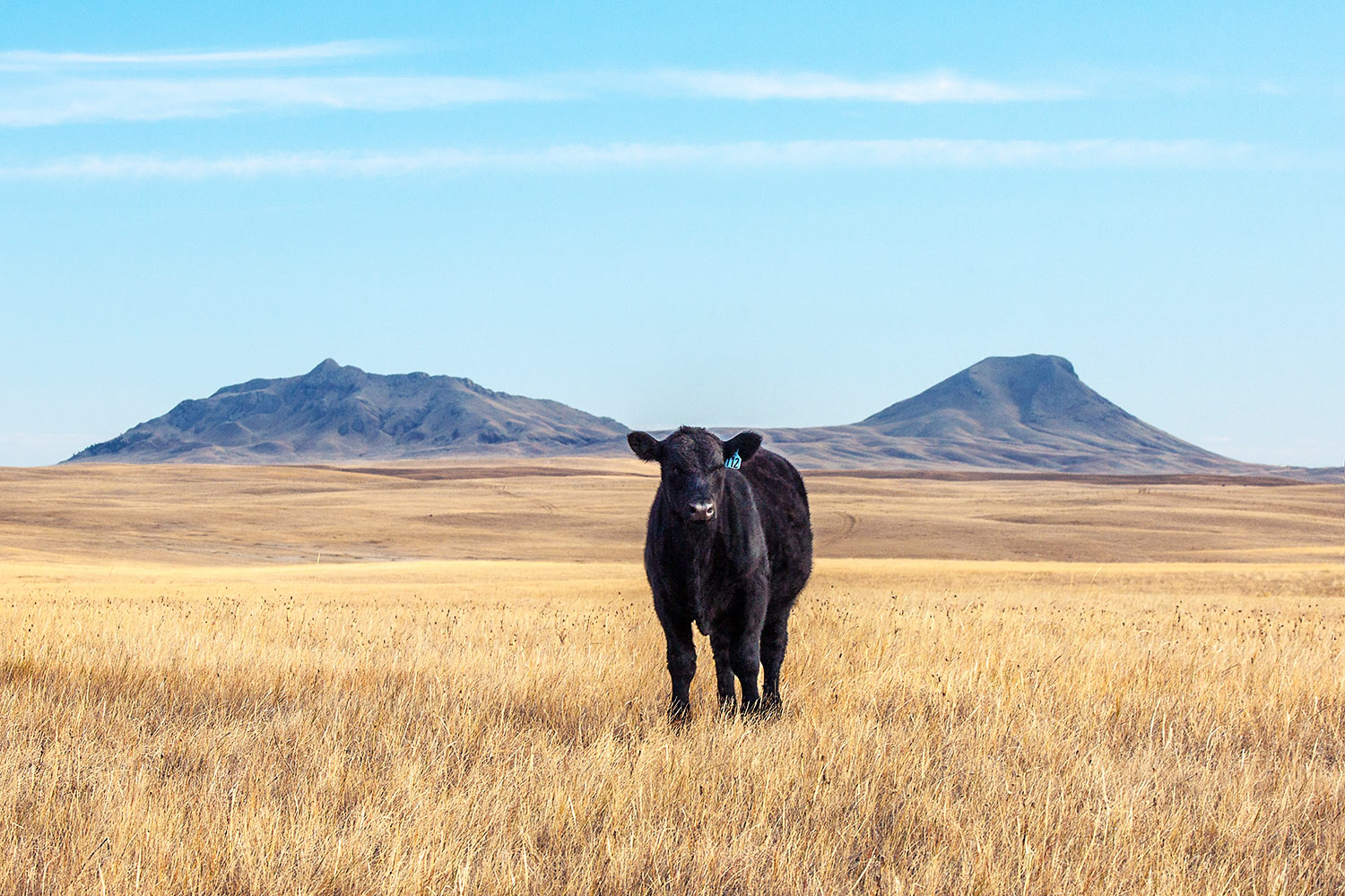 Three Buttes Steer