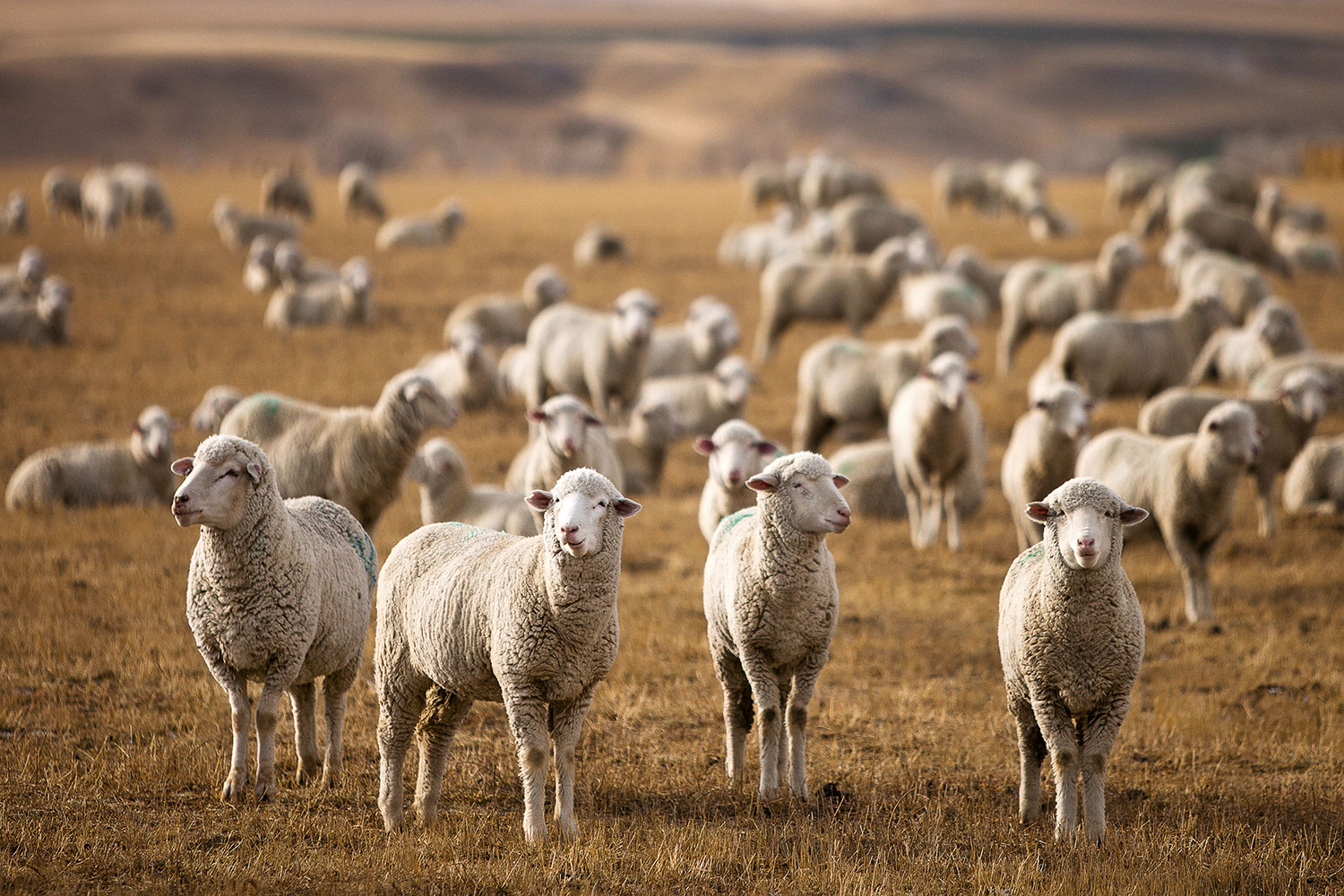 Four sheep stand guard in a large flock of sheep outside of Harlowton, Montana.    → Buy a Print