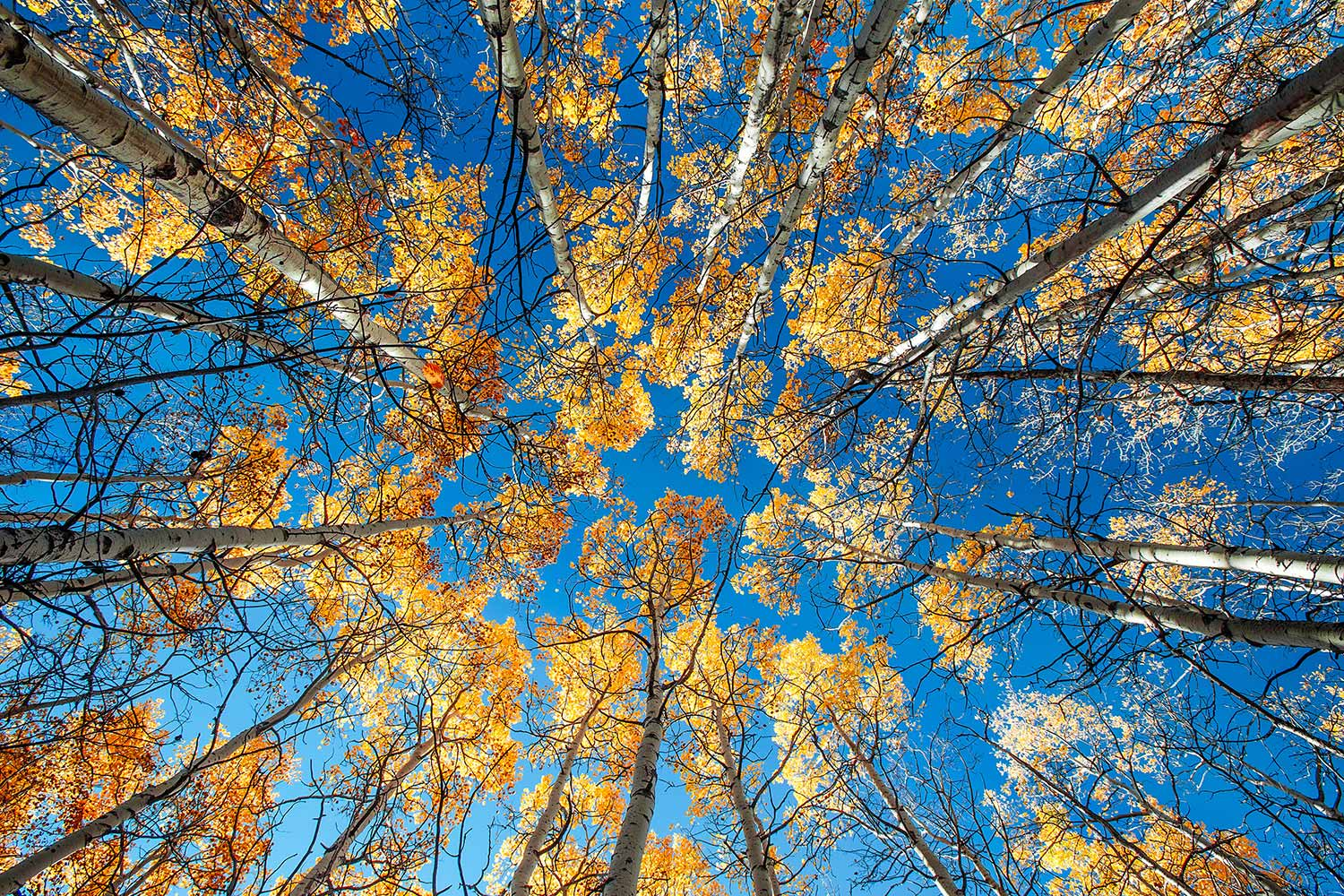 Looking up at a canopy of autumn leaves in a grove of aspen trees near Babb, Montana.  → Buy a Print