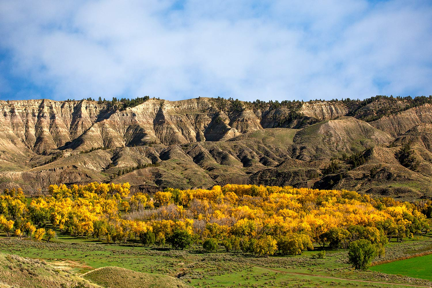 Cottonwood trees turn a beautiful hue of yellow and orange in the Judith River valley outside of Winifred, Montana.  → Buy a Print    or   License Photo
