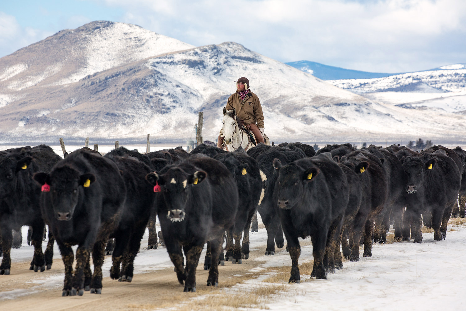 A cowboy from Rose Cattle Company riding behind a herd of black Angus cattle on a cold, snowy day near Toston, Montana.    → License Photo