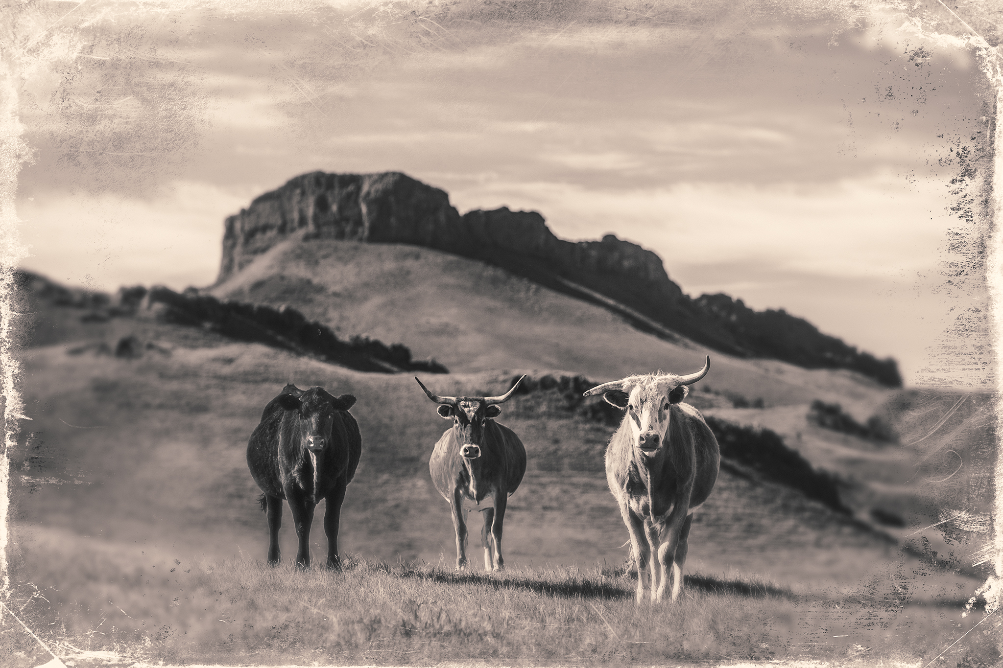 These inquisitive cattle greeted me as I came over a hill west of Lloyd, Montana.   → Buy a Print