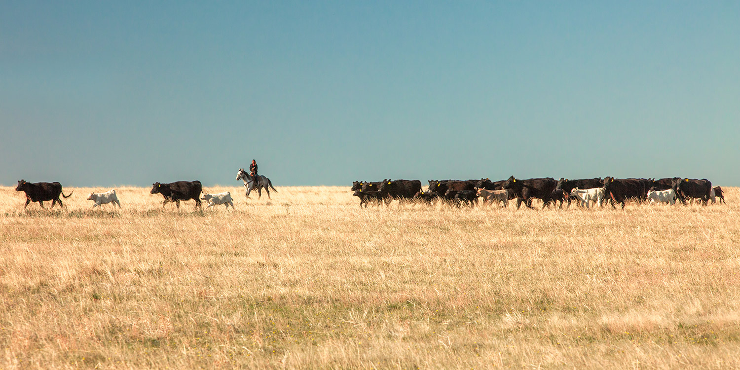 A cowgirl rides flank along the side of the herd during a round up on a ranch near Cleveland, Montana.    → Buy a Print