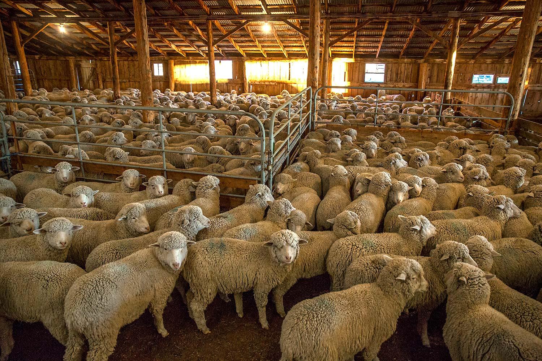 Sheep Huddled Together