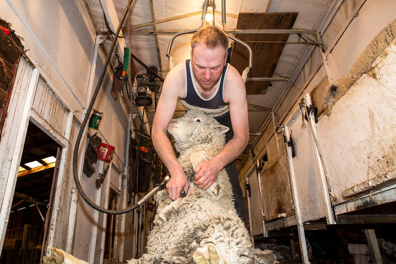 A man shears sheep on the famed Bair Ranch near Martinsdale, Montana.    → License Photo