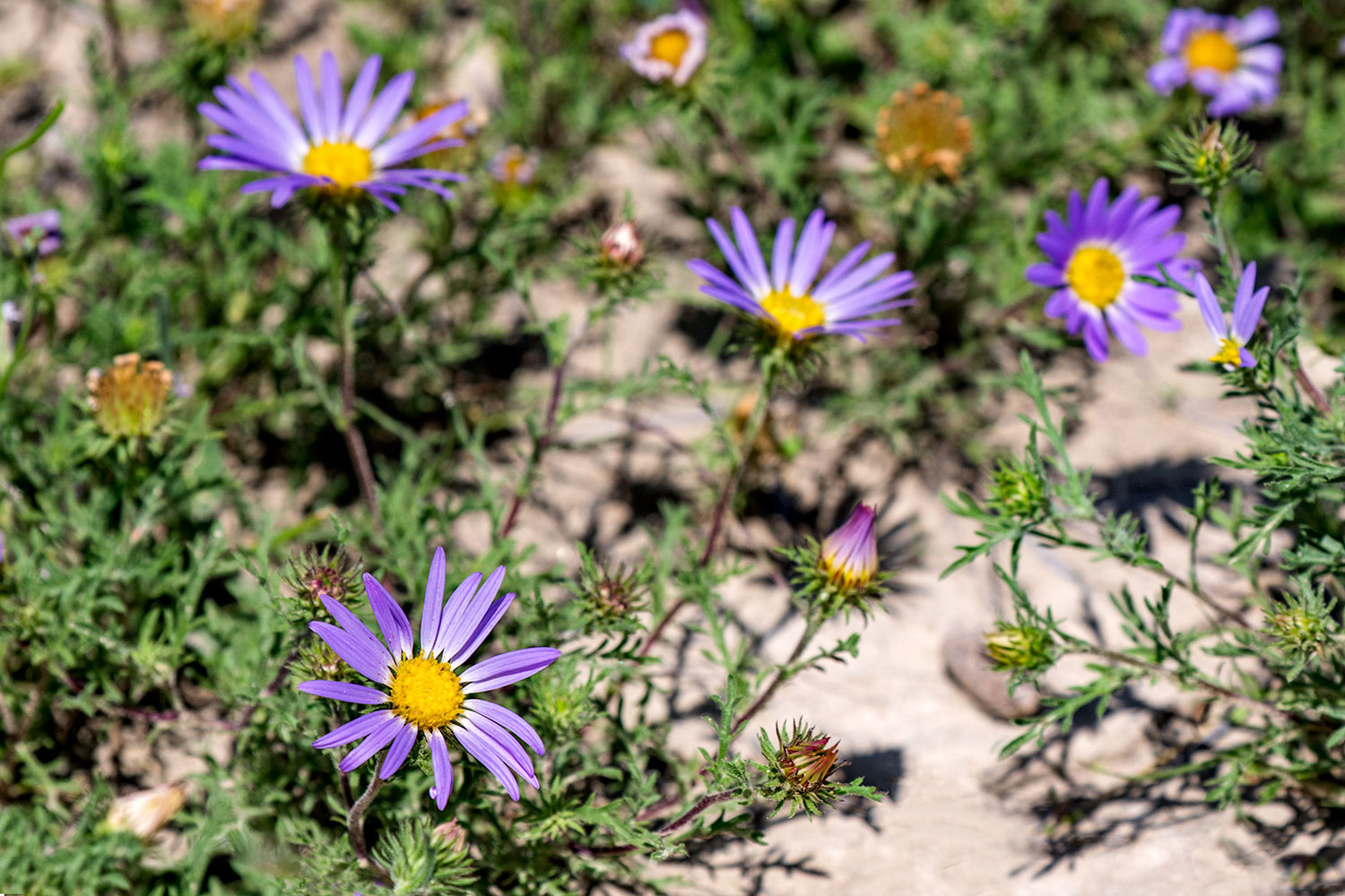 Purple Badlands Flowers