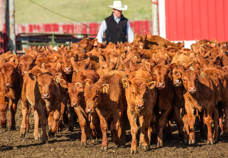 Red Angus Calves