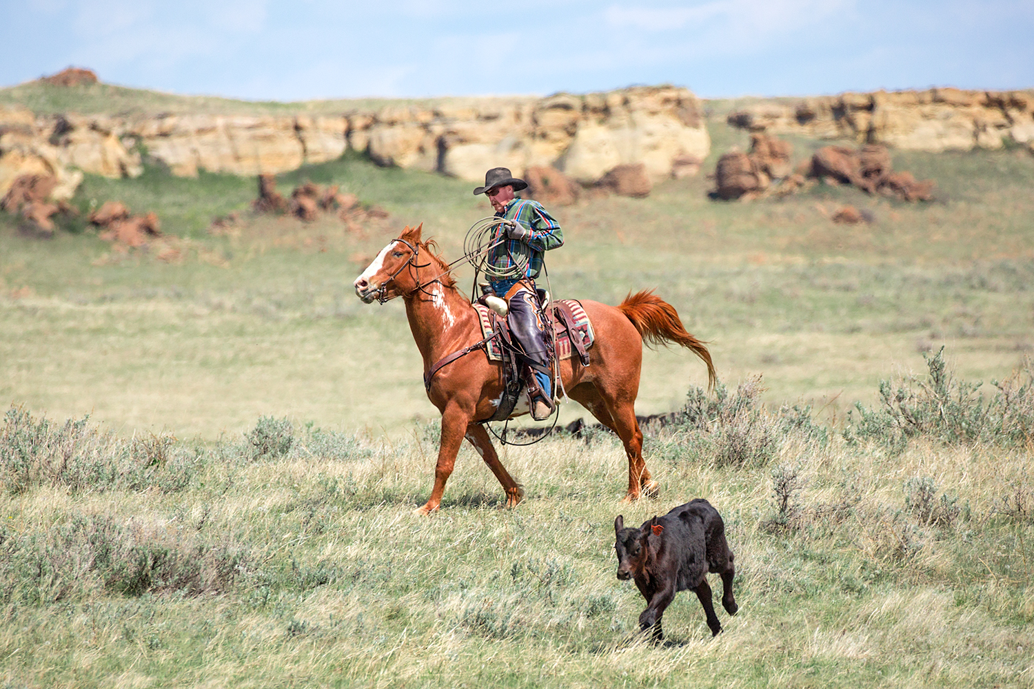 A cowboy chases after an Angus calf on a ranch very near Cleveland, Montana.    → License Photo