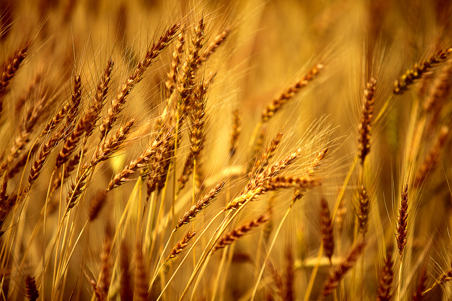 Montana is a leading producer of barley, along with other agricultural products, too.    → Buy a Print  or   License Photo