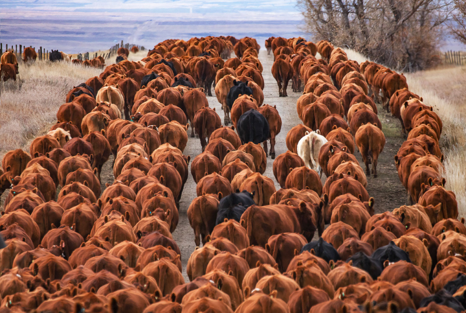 Herd of Red Angus Cattle Drive Photos