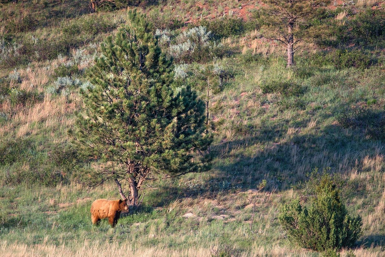 A cinnamon colored black bear on a ranch near Garland, Montana.
