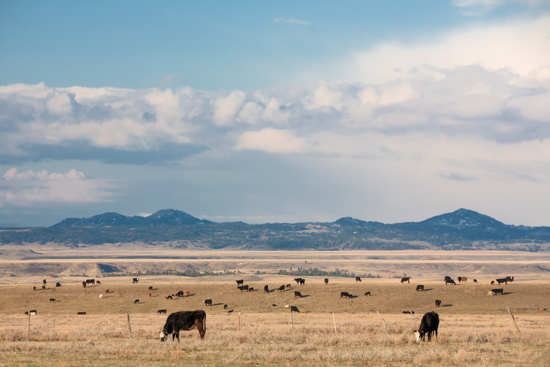 Bear Paw Herd