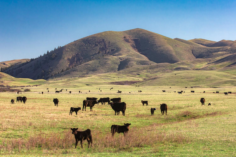 Hilly Herd