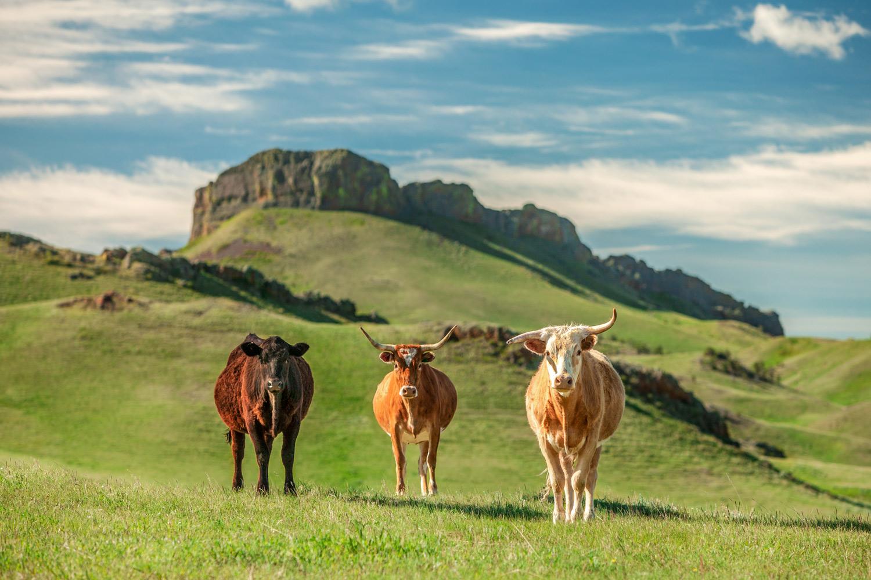 Western Longhorns