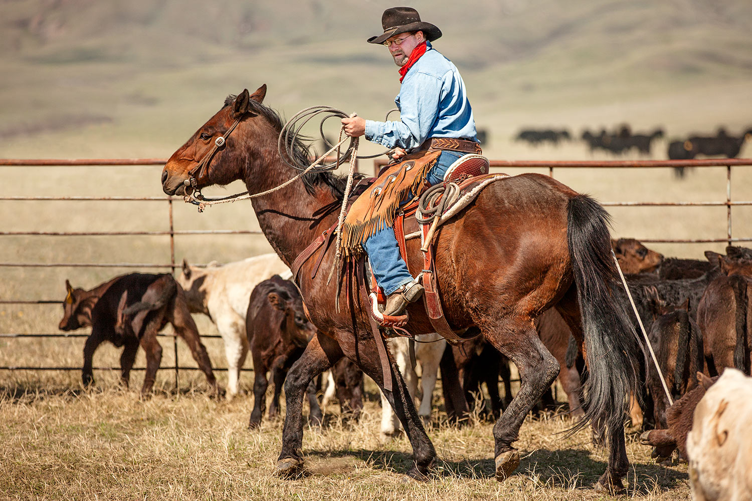 A cowboy roping cattle inside the corral on a ranch near Cleveland, Montana.  → License Photo