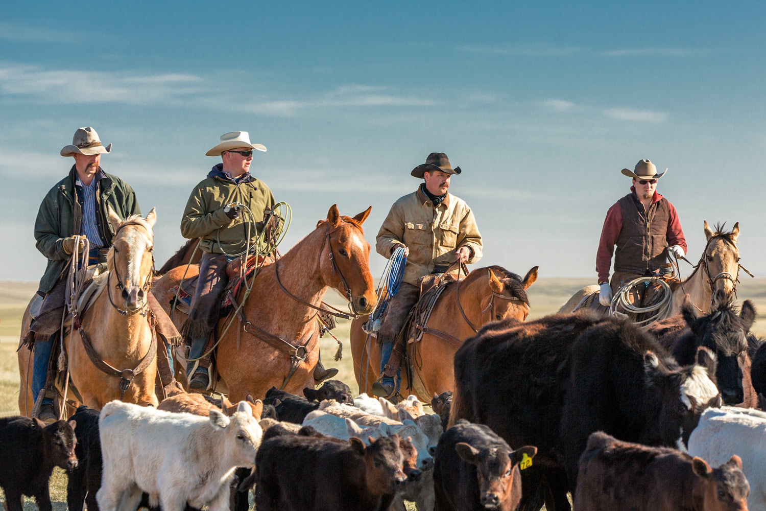 A group of cowboys bring home the herd on a ranch near Cleveland, Montana.  → License Photo