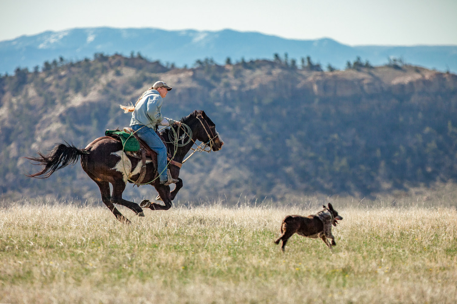A cowgirl chases after a calf that separated itself from the herd on a ranch near Cleveland, Montana.  → License Photo