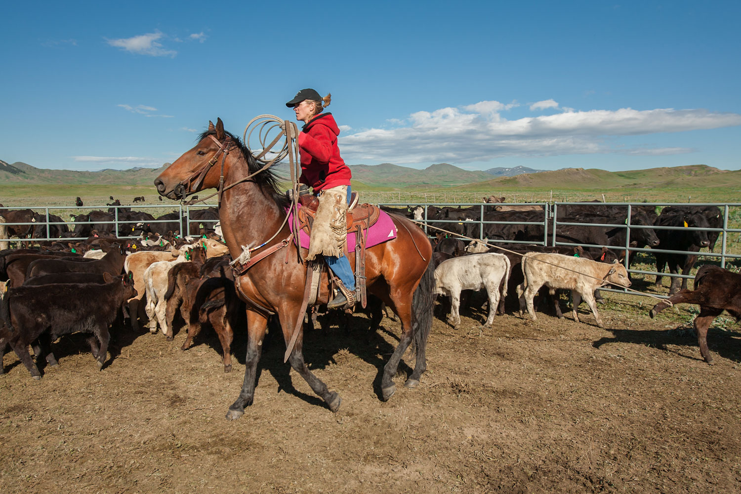 A cowgirl and rancher roping cattle in a corral on a ranch near Cleveland, Montana.   → License Photo