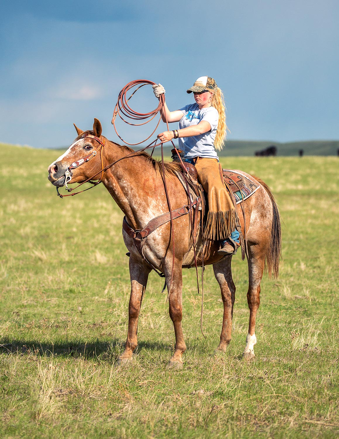 A cowgirl helping to rope cattle on a ranch near Cleveland, Montana.  → License Photo