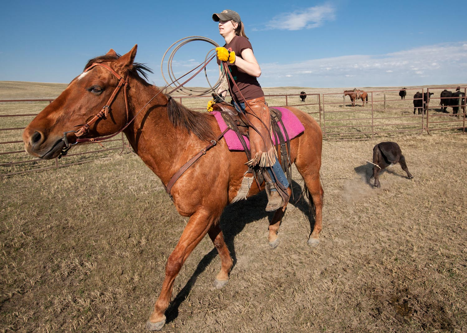 A cowgirl roping cattle in the corral on a ranch north of Havre, Montana.   → License Photo