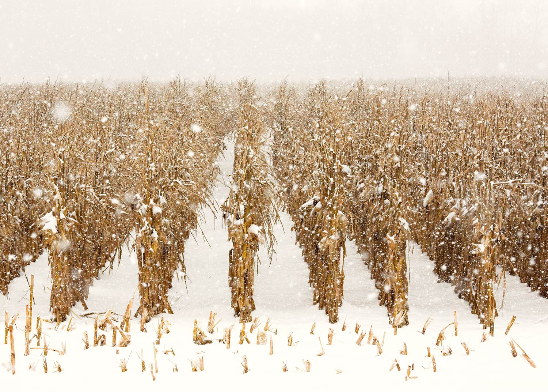 Snowy Corn Stalks