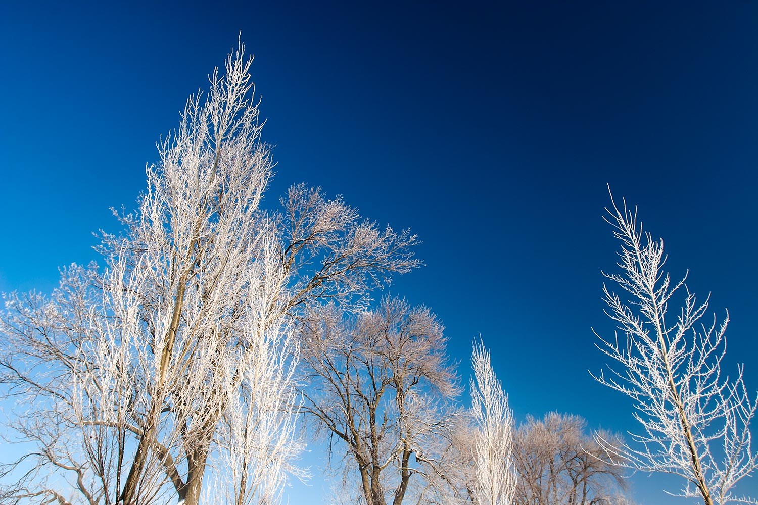 Icy Tree Tops