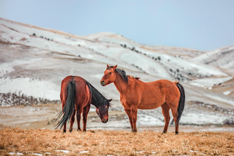 Hairy Horses