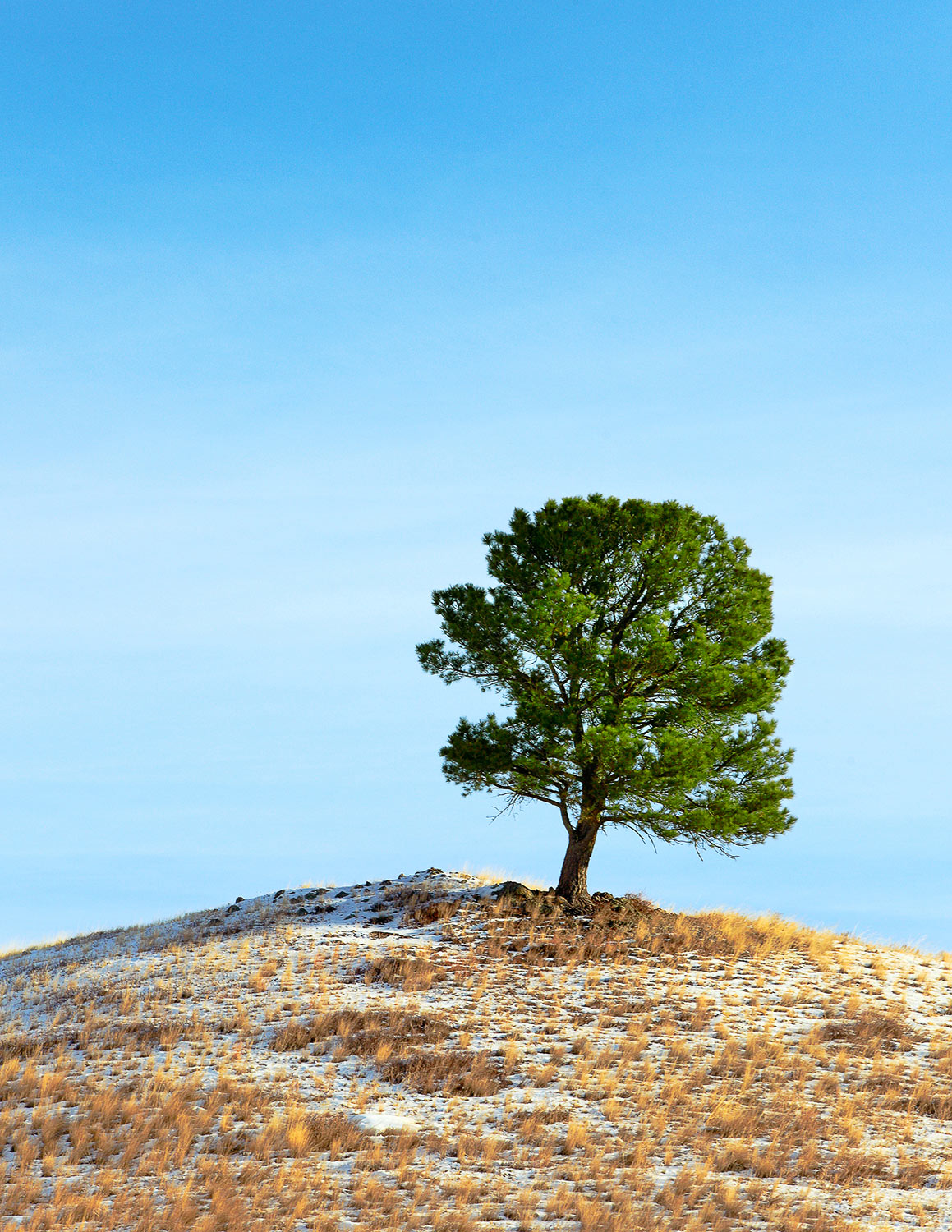 A leaning evergreen tree on top of a hill near Warrick, Montana.   → Buy This Print