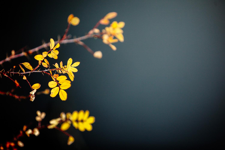 Brambled Leaves