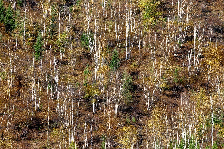 Leafless Aspens