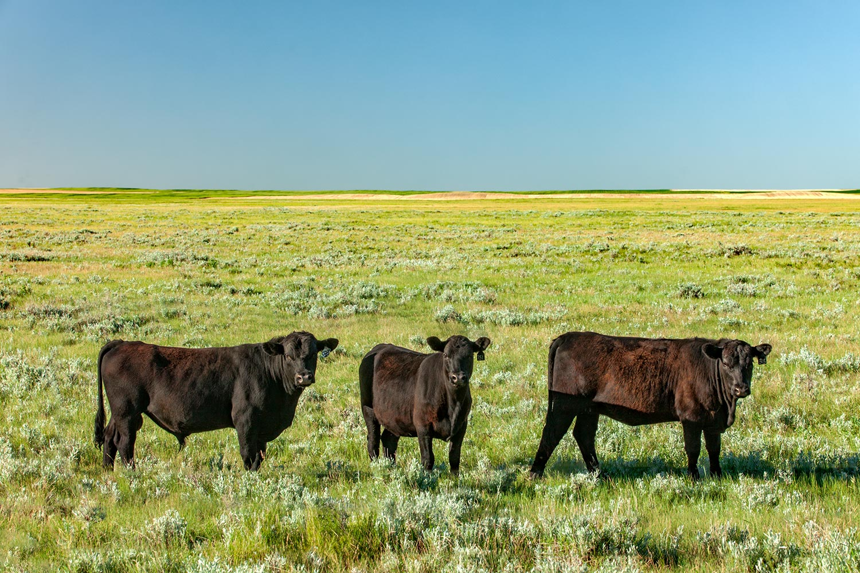 Three Cows in a Field